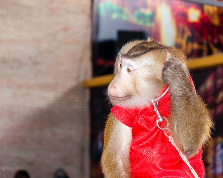 primacy: Trained monkey performing in circus