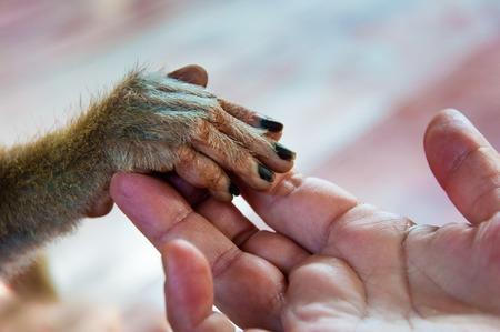 animales silvestres: Vista de la palma de la mano humana que sostiene una peque�a mano de mono Foto de archivo