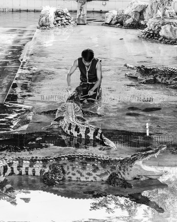 than: Nakhon Pathom, Thailand - May 24, 2014: Crocodile show at Samphran Crocodile Farm on May 24, 2014 in Nakhon Pathom,Thailand. The farm of more than 10,000 crocodiles is acclaimed to have one of the cleanest and most impressive public crocodile displays in