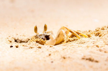 Closeup of Crab digging a hole in the sand photo