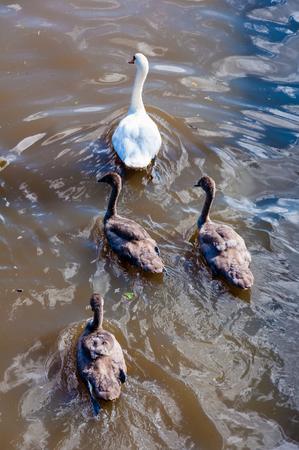 familiy: Beautiful swan familiy with nestlings in lake