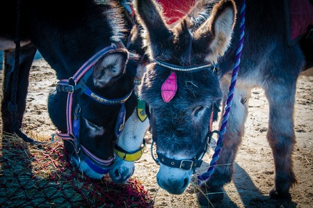 Donkeys on the beach eating hay photo