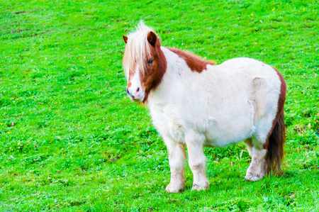 White chestnut pony horse in green grass field, copy space available photo