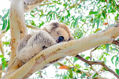 inhabit: Australian Koala bear.Koalas typically inhabit open eucalyptus woodlands and are recognized worldwide as a symbol of Australia.
