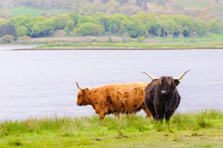 highlands region: Scottish Highland Cows Stock Photo