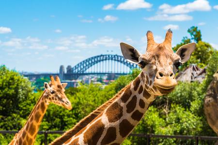 Sydney, Australië - Januari 11, 2014: Girraffe bij Taronga-Dierentuin in Sydney met Havenbrug op achtergrond. Taronga Zoo is de stadsdierentuin van Sydney en ligt aan de oevers van de haven van Sydney Redactioneel