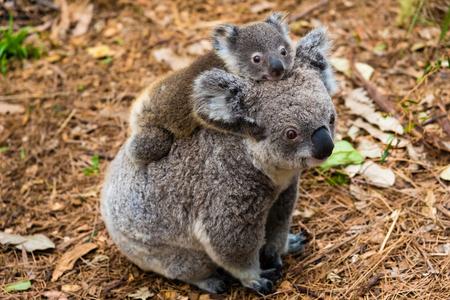 Australische koala inheemse dier met baby op de rug. Stockfoto