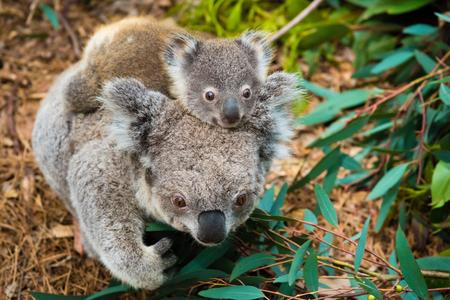 호주 코알라 곰 다시 아기와 함께 기본 동물. 스톡 콘텐츠