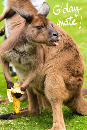 Close-up on a kangaroo eating a banana with a funny face and GDay Mate greeting