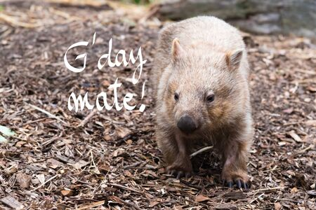 Close-up on an wombat, Australian native animal with GDay Mate greeting Stock Photo