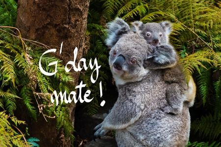 Australian koala bear native animal with baby on the back and GDay Mate greeting