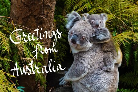 Australian koala bear native animal with baby on the back and Greetings from Australia text Stock Photo