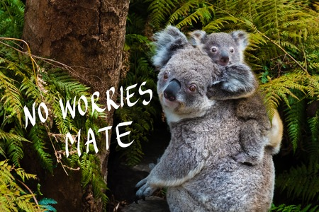 Australian koala bear native animal with baby on the back and No Worries mate text Stock Photo