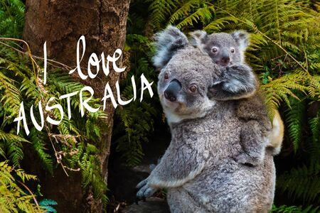 Australian koala bear native animal with baby on the back and I Love Australia text Stock Photo