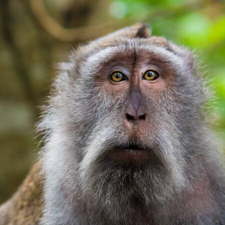 Portrait of macaque monkey with copy space for text