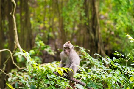 ubud: Macaque monkey at Monkey Forest, Bali, Indonesia