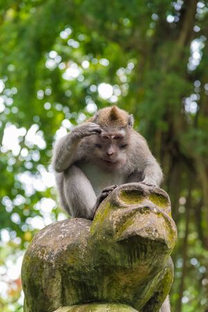 Macaque monkey at Monkey Forest, Bali, Indonesia