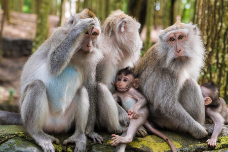 Macaque monkeys with cubs at Monkey Forest, Bali, Indonesia