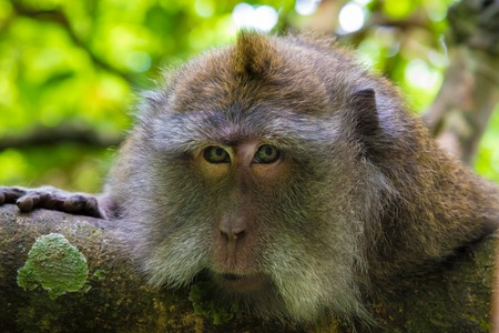 ubud: Portrait of macaque monkey with copy space for text