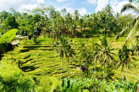 ubud: Bali, Indonesia - May 9, 2017 : View over Tegallalang rice terraces near Ubud, Bali, Indonesia. Editorial