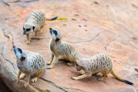 Clan of Meerkats Suricata suricatta, African native animals, small carnivore belonging to the mongoose family
