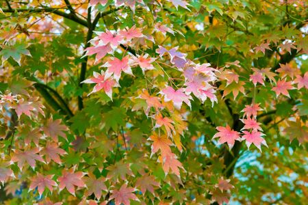 Maple tree with red leaves in autumn, nature background 写真素材
