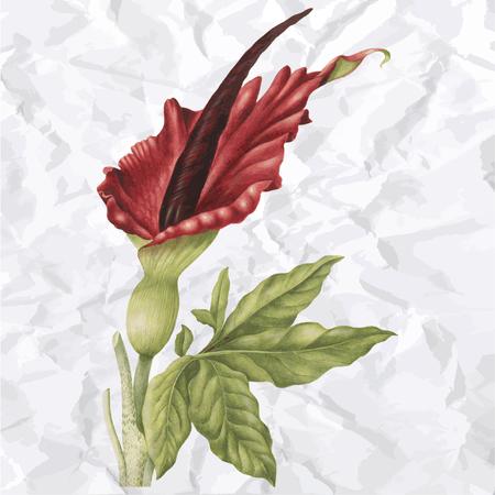 nutty: Vector vintage illustration of rose flower Illustration