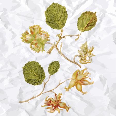 avellanas: Ilustración del vector de la vendimia de los frutos secos
