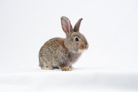 白い背景の上の 1 つの灰色ウサギ。