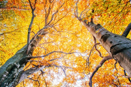 yellow crowns of trees in a forest in autumn Stock Photo