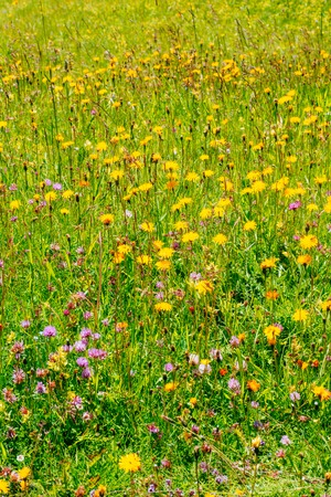 trifolium: meadow of wildflowers