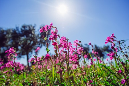 marguerite: Spring pink flowers.