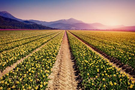 bulb fields: Yellow tulips at sunset. Stock Photo