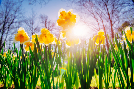 jonquil: Yellow Daffodils in the gardens of Holland Stock Photo