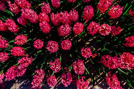 Many colorful hyacinths growing under the spring sunshine Stock Photo