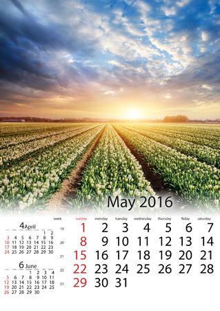 Calendar May 2016 - White plantation of tulips at sunset. Hollan