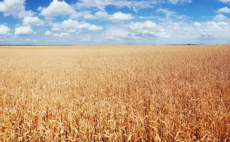 meadow wheat under sky. harvest Season. Ukraine Europe