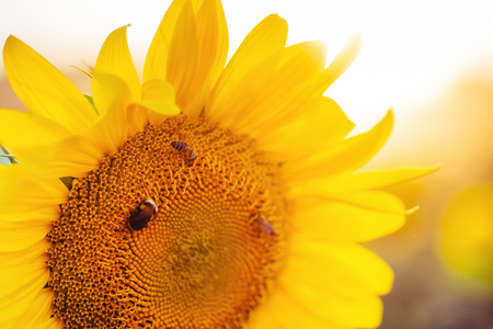 A bee collects nectar from a sunflower. Beauty world
