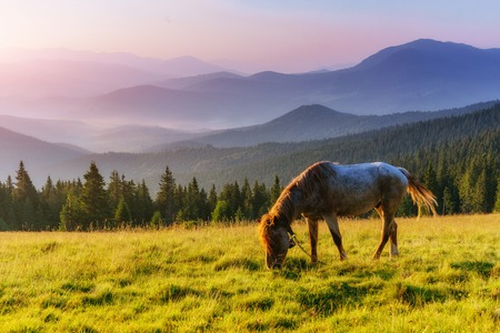 Horses, on grass at high-land pasture at Carpathian Mountains in rays of sunset.