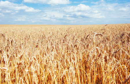 Golden wheat field under the blue sky. Time of the harvest.