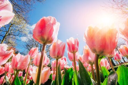 Group of pink tulips. Spring landscape. Sicily. Italy. Europe