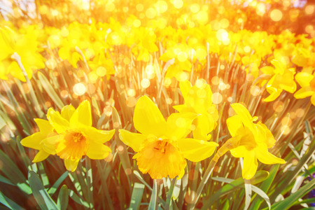 Yellow Daffodils in the gardens of Holland. Bokeh light effect,