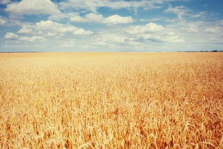 meadow wheat under sky. Beauty world. Ukraine. Europe Stock Photo