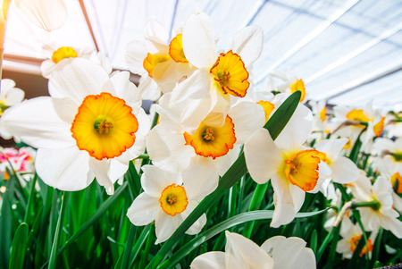 jonquil: Yellow Daffodils in the gardens of Holland. Narcissus