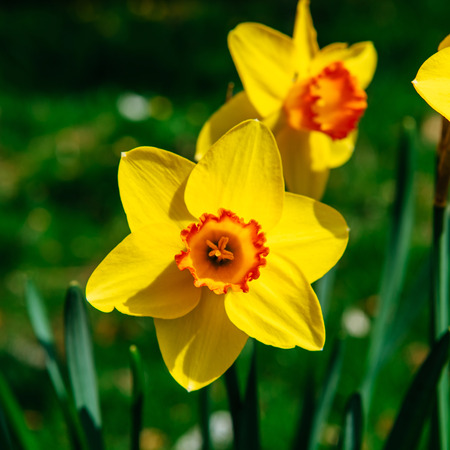 jonquil: Yellow Daffodils in the gardens of Holland. Bokeh light effect,