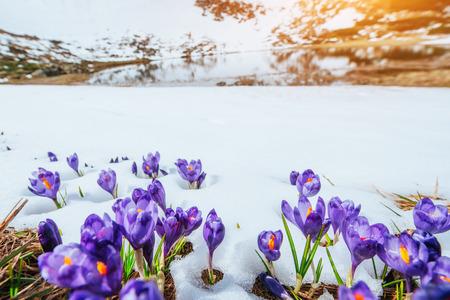 Spring crocuses in melting snow. Carpathians Ukraine Europe Stock Photo