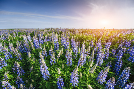 covered fields: Wild blue lupinus blooming in high grass at summer.