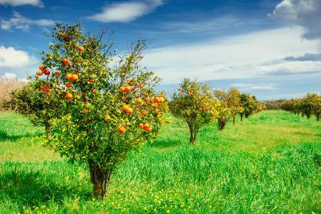 orange trees plantations