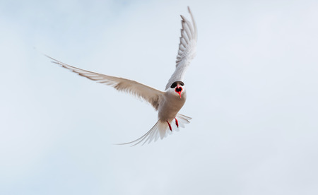wingspan: Arctic tern on white background - blue clouds. Iceland