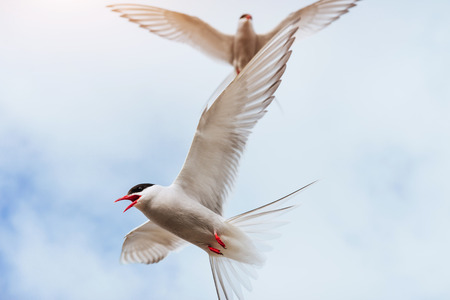 nesting: Arctic tern on white background - blue clouds. Iceland